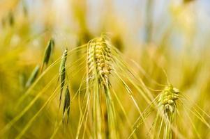 campo de trigo dourado com céu azul em fundo