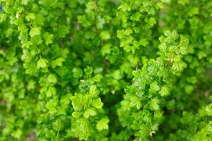 arbusto de groselha