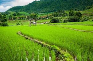 Campo de arroz fresco no fundo da montanha