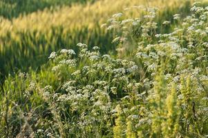 campo de cevada na hora do pôr do sol