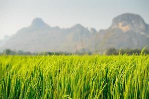 campo de arroz com montanha ao fundo