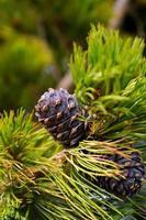 pinhas de cedro em um galho. foto tonificada