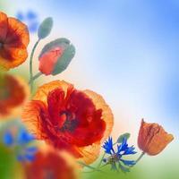 campo de papoulas vermelhas e centáureas azuis foto