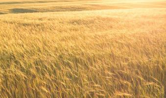 paisagem de verão com campo de trigo