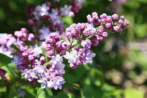 lindas flores lilás ao ar livre
