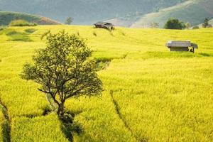 campos de arroz no vale central.