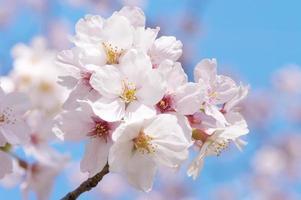 flores de cerejeira no final do ramo.