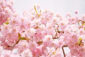 flor de sakura no japão, primavera em tokyo japão foto