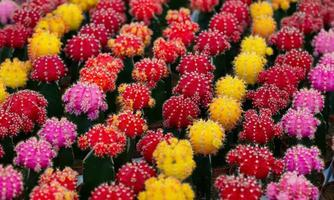 cactos com flores coloridas foto