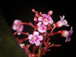 orquídea rosa em fundo preto foto