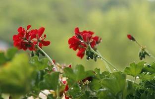 lindas flores vermelhas foto
