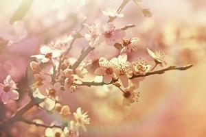 flor de cerejeira - bela árvore em flor foto