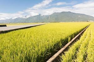 fazenda de arroz em casca dourada