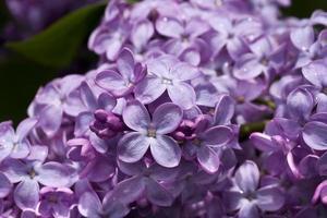 lindo arbusto lilás foto