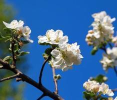 flor de cerejeira em fundo de céu azul foto