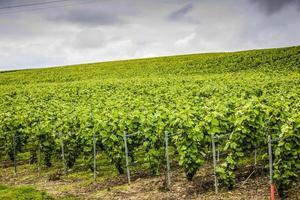 vinhedo na região de champagne da França
