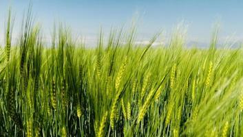 trigo verde