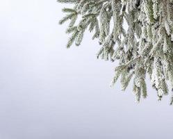 ramos de pinheiros cobertos de geada. foto