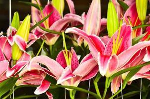 muitos lilly rosa foto