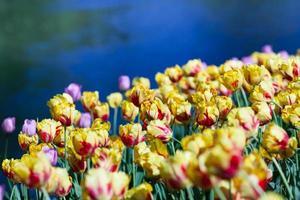 tulipas vermelho-amarelo