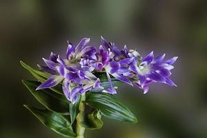orquídea a grappolo sfumata viola foto