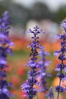 flor de lavanda com abelha foto