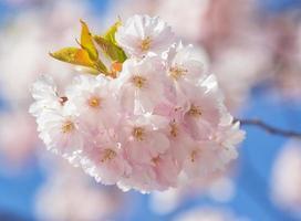 sakura. prunus serrulata. foto