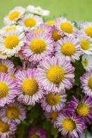 flor de crisântemo foto