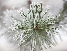 ramos coníferos cobertos com gelo