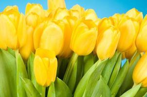bando de tulipas amarelas foto