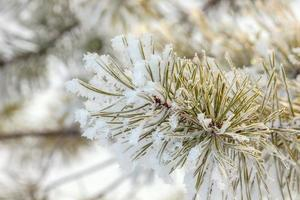 ramo de pinheiro coberto com gelo foto