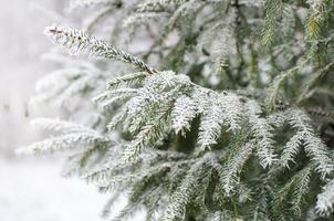 Galho de árvore de abeto coberto de geada foto
