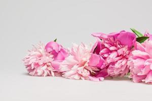 linda peônia rosa foto