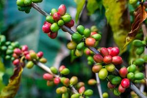 sementes de café em uma árvore de café