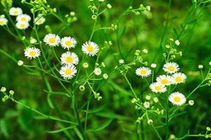 flores de camomila selvagem