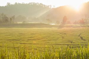 campos de arroz em casca verde de plantação agrícola