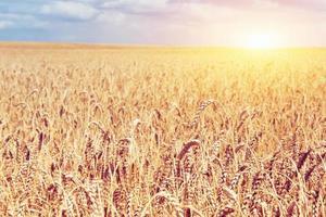 campo de trigo dourado e dia ensolarado