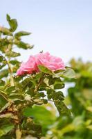 rosa flor rosa