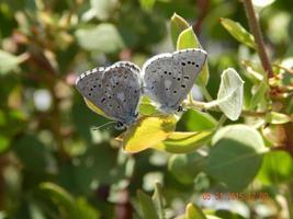 borboletas de cobre mariposa