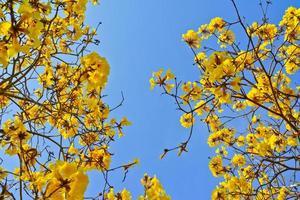 flor de árvore goled close-up (amarelo pui) e céu azul