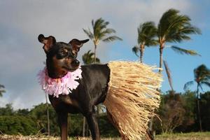 haku cão havaiano hula foto