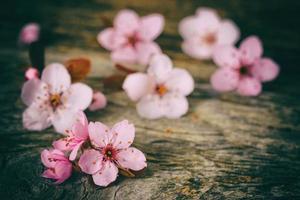 flor de cerejeira sakura em madeira rústica