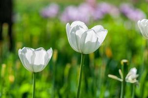 tulipa branca foto