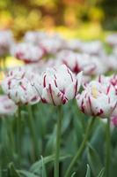 lindas tulipas foto