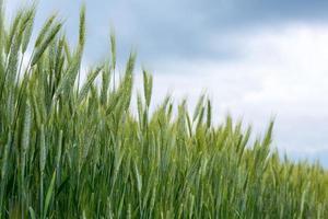 campo de trigo na primavera