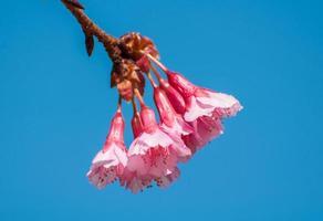 cereja selvagem do himalaia florescendo foto