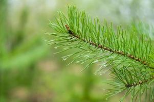 pinheiro verde