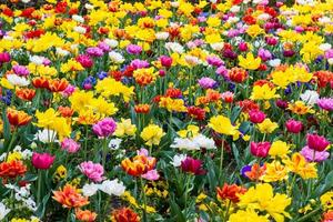 campo de tulipas