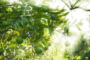 árvore verde-limão pendurada nos galhos foto