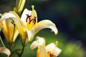 lírios amarelos no parque Keukenhof foto